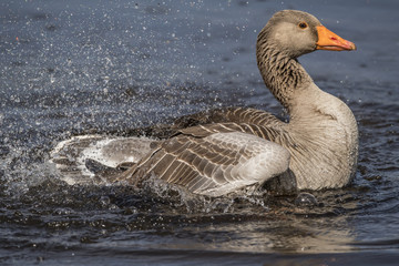 Greylag goose displaying on a loch, close up