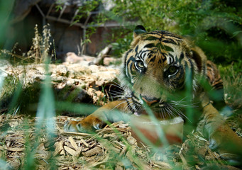 A Sumatran tiger licks a frozen blood lollipop on a hot summer day at the Bioparco zoo in Rome