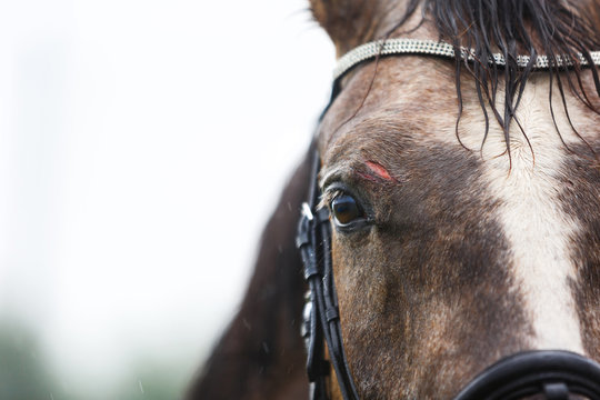 Wound on the forehead of a horse