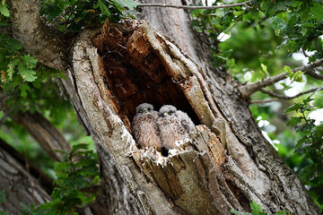 Baby owls are seen in a tree at Worthy Farm in Somerset during the Glastonbury Festival