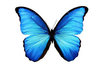 бабочка Morpho didius