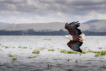 African Fish Eagle  Haliaeetus vocifer