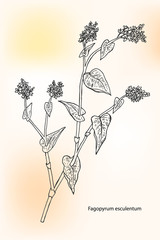 Buckwheat (Fagopyrum esculentum), also known as common buckwheat, Japanese buckwheat and silverhull buckwheat. Hand drawn vector illustration