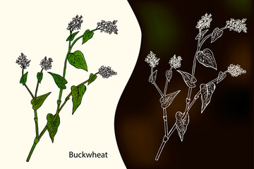 Hand drawn vector illustration of buckwheat. ( Fagopyrum tataricum)