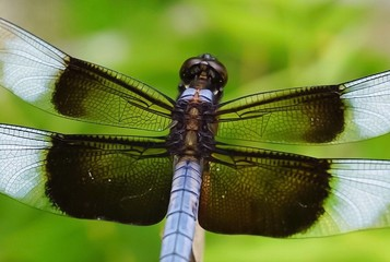 An up close view of a colorful light blue and brown colored Dragonfly