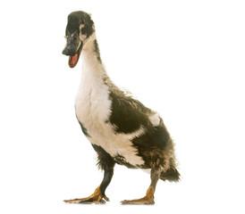 mulard duck in studio