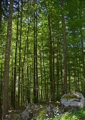 Forest Near Pontebba 1A shady alpine pine forest near Pontebba in Friuli Venezia Giulia, north east Italy