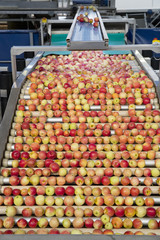 Close Up Of Apples Being Graded In Fruit Processing Plant