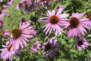 Purple Coneflowers, Echinacea purpurea