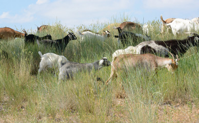 Herd of goats grazing grass and underbrush as natural form of weed abatement and wildfire mitigation