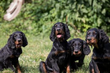 puppy setter gordon, Dog training