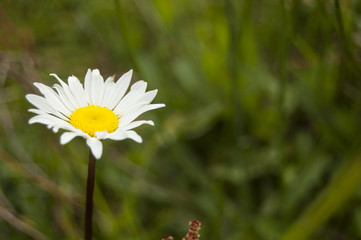 Macro of a daisy flower in a Field of flowers. Green blur background, right position
