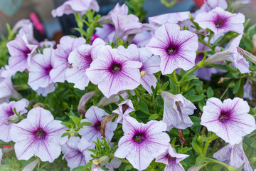 Beautiful Violet Petunia Flower
