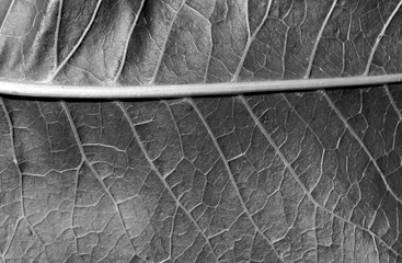 black and white color leaf texture.