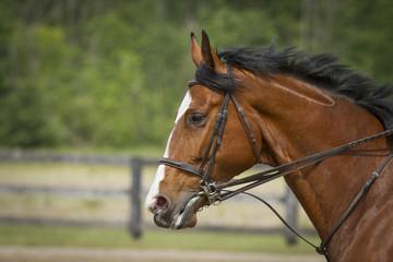Sport Horse in a full bride