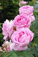 Pink flowers dogrose closeup