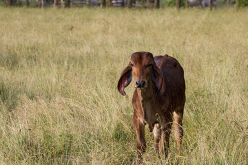 Brahman Calf Looking up