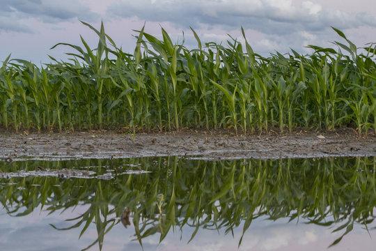 Field Corn after flooding rain