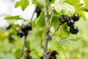 The crop of black currant on the bushes.