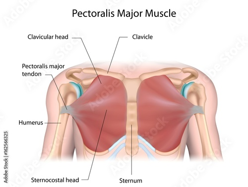 Pectoralis major muscle, labeled. \