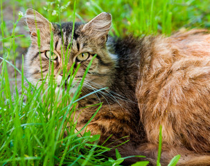 tabby cat lies in the green grass
