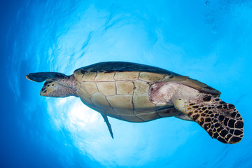 Hawksbill Sea Turtle in Blue Water