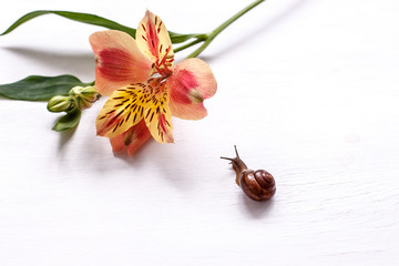 snail and flower Alstroemeria on a white table