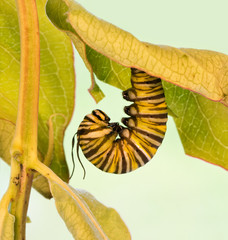 Monarch caterpillar hanging in J-formation just before pupation; with his tentacles deflated and ragged looking