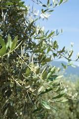 Olivenbaum in Südtiroler Berglandschaft