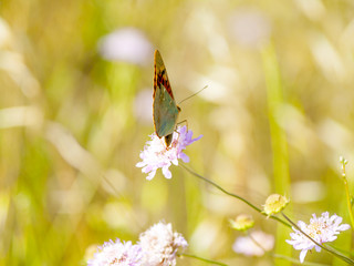Brown butterfly pollinating a flower on springtime