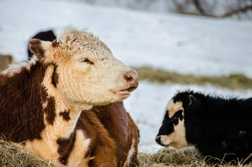 A brown and white jersey cow with her black and white calf during a snowy winter