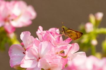 Golden Skipper butterfly on pink geranium in a garden in Santa Fe, New Mexico in spring