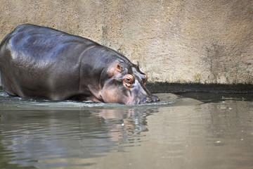 Watchful Hippopotamus (Hippopotamus amphibius) in the wild  somewhere in Tanzania   Africa