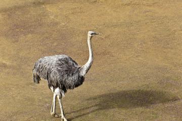 Wild Ostrich (Struthio camelus) somewhere in  Tanzania  Africa