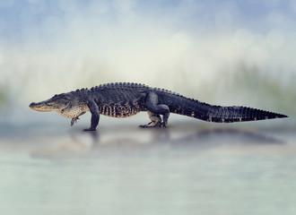 Large American Alligator walking