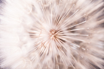 Big dandelion close up