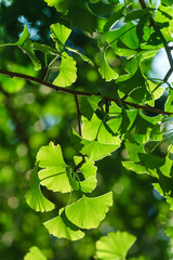 Gingko Biloba tree in the park