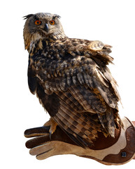 Eagle owl ( Bubo Bubo ) on a hand of a falconer isolated on a white background.