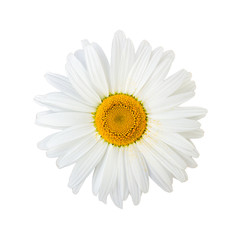 Isolated chamomile flower on white background