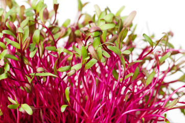 Red beetroot, fresh sprouts and young leaves. An edible vegetable, herb and microgreen. Also called beet and table, garden or red beet. Cotyledons of Beta vulgaris. Macro photo closeup.