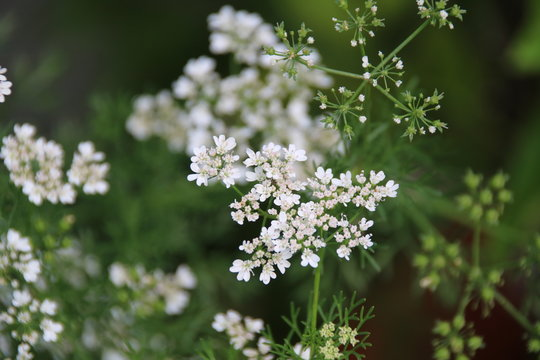 Coriander Flowers, Coriandrum sativum / The herb is unsed in many cuisines of the world.