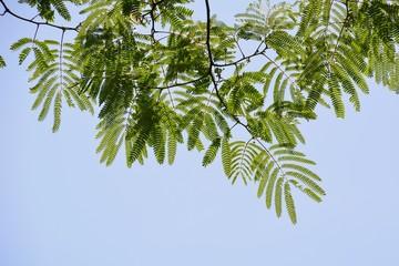 初夏のネムノキの葉(Young leaves of Mimosa, Persian silk treeor Pink siris in early summer)