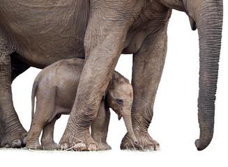 Sri Lankan elephant, Elephas maximus maximus, mother protecting new-born elephant, isolated on white background. Yala National park, Sri Lanka.