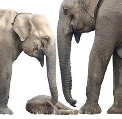 Isolated on white background, Sri Lankan elephant, Elephas maximus maximus, close up, mother and another elephant are protecting new-born elephant, lying on the ground. Yala National park, Sri Lanka.