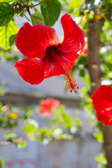red hibiscus flower(chinese rose) in Chania
