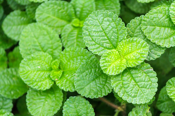 Fresh raw mint leaves in vegetable garden for health, food, aromatherapy and agriculture concept design.