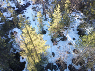 view of pine trees from top down.