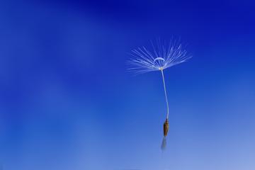 dandelion with water drop