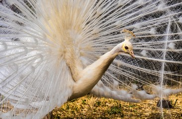 """A white peacock lives on the island of Lesbos in Greece in Moni Limonos Monastery """