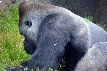 Gorillas are ground-dwelling, predominantly herbivorous apes that inhabit the forests of central Africa. The DNA of gorillas are highly similar to that of humans, from 95–99%